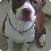 Mastiff Mix Dog for adoption in Livonia, Michigan - H Litter-Pumpkin