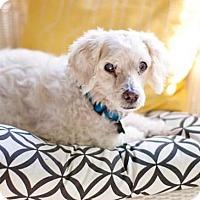 Cockapoo Mix Dog for adoption in CUMMING, Georgia - Alfred