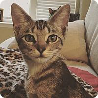 Adopt A Pet :: Seven - Arlington/Ft Worth, TX