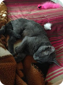 Domestic Shorthair Cat for adoption in Manhattan, Kansas - Sasha