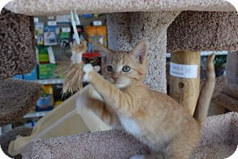 Domestic Shorthair Kitten for adoption in Columbus, Indiana - Andy