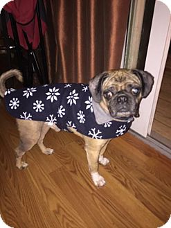 Pug Mix Dog for adoption in Bellbrook, Ohio - Scotty