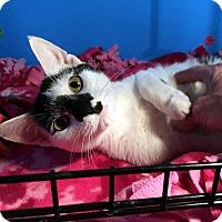 Adopt A Pet :: Ariel - Lombard, IL