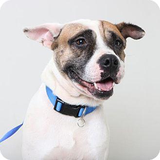 American Bulldog/Boxer Mix Dog for adoption in Edina, Minnesota - Griff D161737: PENDING ADOPTION