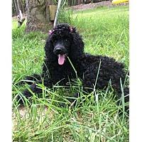 Adopt A Pet :: Lucylu - Alpharetta, GA