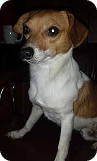Jack Russell Terrier Mix Dog for adoption in Dallas/Ft. Worth, Texas - Tater in Bossier City, LA