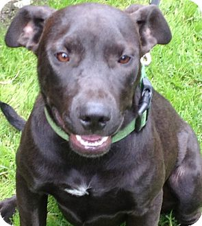 labrador retriever terrier mix princess adopted puppy poway ca labrador retriever 1850
