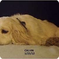 Adopt A Pet :: CALVIN - Tacoma, WA