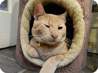 Domestic Shorthair Cat for adoption in The Colony, Texas - Frankie