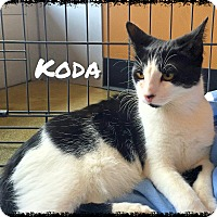 Domestic Shorthair Cat for adoption in Arcadia, California - Koda