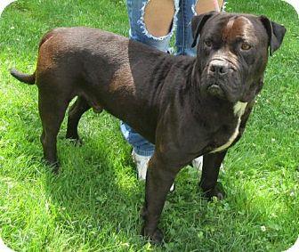 Pit Bull Terrier Mix Dog for adoption in Elkins, West Virginia - Dodger