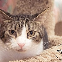 Domestic Shorthair Cat for adoption in Belton, Missouri - Aiden