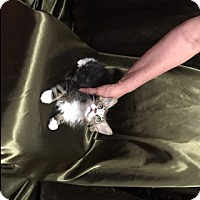 Adopt A Pet :: Kittens, Kittens!! - Tehachapi, CA
