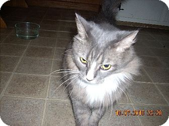 American Shorthair Cat for adoption in Nederland, Texas - Shadow
