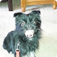 Pomeranian/Yorkie, Yorkshire Terrier Mix Dog for adoption in Columbia, Tennessee - Barkley