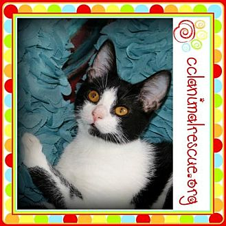 Domestic Shorthair Cat for adoption in Panama City, Florida - Mica