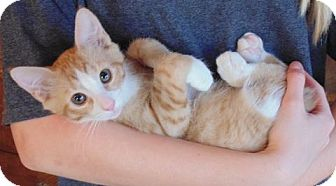 Domestic Shorthair Kitten for adoption in Huntsville, Alabama - Nubs