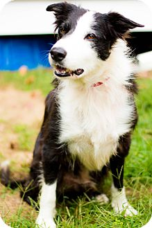 Border Collie Dog for adoption in West Hartford, Connecticut - Patch