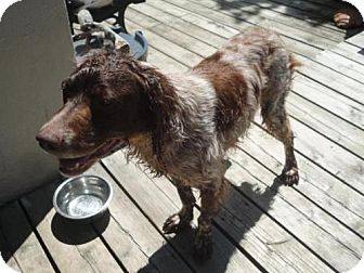 Brittany Dog for adoption in Kent, Ohio - ON/Rusty O'Fallon