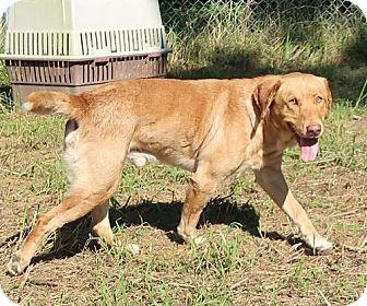 Labrador Retriever/Golden Retriever Mix Dog for adoption in Burbank, Ohio - Frankie
