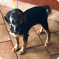 Adopt A Pet :: Peanut Budder - Oswego, IL