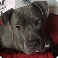 Adopt A Pet :: Silver~COURTESY POST~ - Columbus, OH