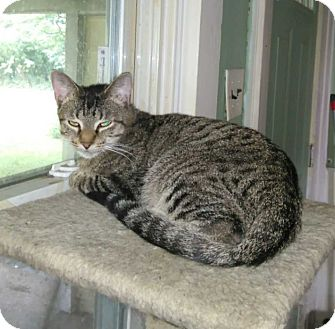 Domestic Shorthair Cat for adoption in Columbia City, Indiana - Little Bob