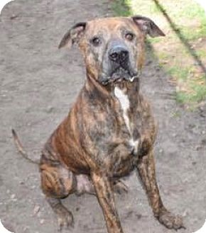 Mastiff/American Pit Bull Terrier Mix Dog for adoption in Saginaw, Michigan - Moon