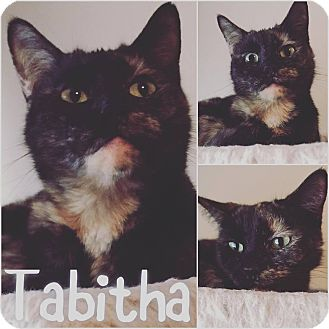 Domestic Shorthair Cat for adoption in St Clair Shores, Michigan - Tabitha