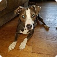 Adopt A Pet :: Ventura - B - COURTESY POST - Simsbury, CT