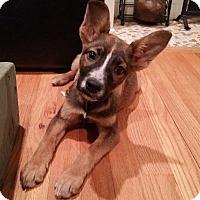 Adopt A Pet :: Bashful - New Oxford, PA