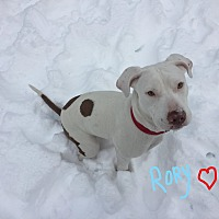 Adopt A Pet :: Puppy - Rory!! - Lincoln, CA