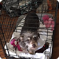 Adopt A Pet :: Elisabeth - Verona, NJ