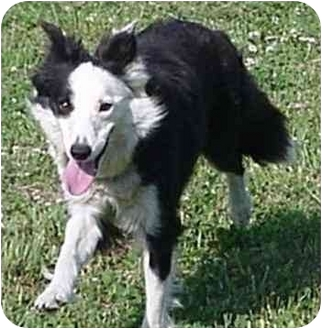 Border Collie Dog for adoption in Tiffin, Ohio - Lizzie