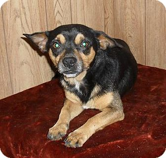 Chihuahua Mix Dog for adoption in Chandlersville, Ohio - Sam