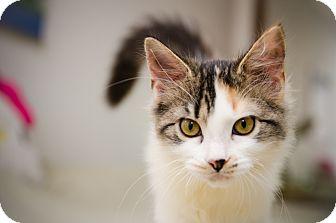 Domestic Shorthair Kitten for adoption in St. Louis, Missouri - Xuxa