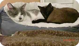 Snowshoe Cat for adoption in San Luis Obispo, California - Harpo and Mr. Bigglesworth