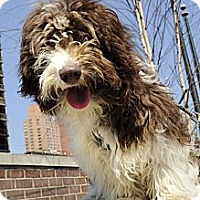 Adopt A Pet :: Isabella - New York, NY