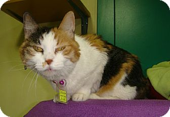Domestic Shorthair Cat for adoption in Lakewood, Colorado - Chloe