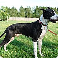 Adopt A Pet :: Capone - Courtesy Listing - Manassas, VA