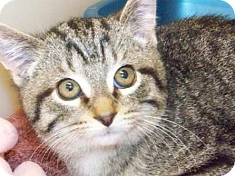 Domestic Shorthair Cat for adoption in Westville, Indiana - Vincenzo