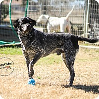 Adopt A Pet :: Blue - Arlington, TX
