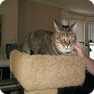 Domestic Shorthair Cat for adoption in Columbus, Ohio - Elmer