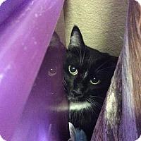 Adopt A Pet :: Oreo III - Fountain Hills, AZ