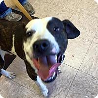 Adopt A Pet :: Joker - Benton, AR