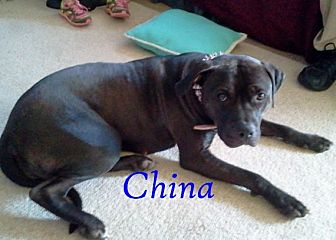 Pit Bull Terrier Mix Dog for adoption in Halifax, North Carolina - China
