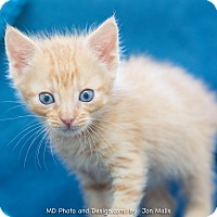 Adopt A Pet :: Patrick - Fountain Hills, AZ