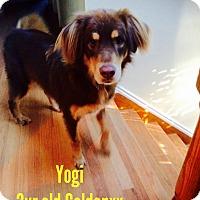 Adopt A Pet :: Yogi - Nanuet, NY
