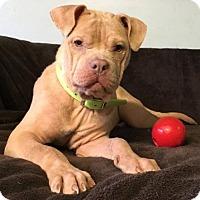 Adopt A Pet :: Alf - Kansas City, MO