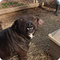 Pit Bull Terrier Mix Dog for adoption in East Dover, Vermont - Illa